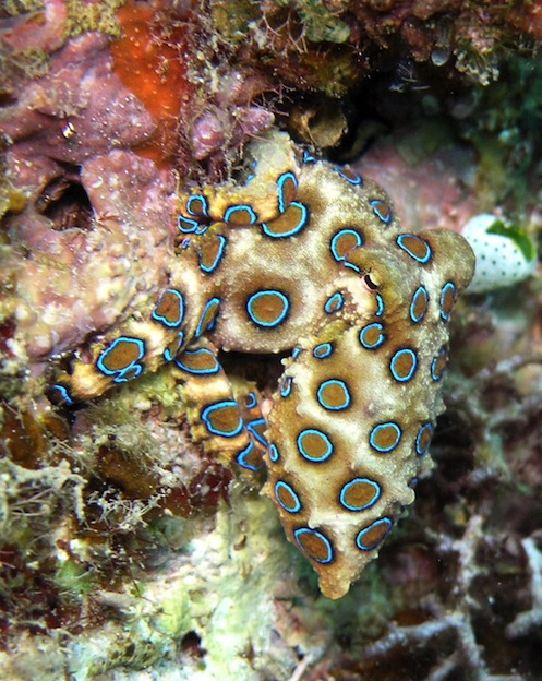 Blue Ringed Octopus, a venomous marine animal
