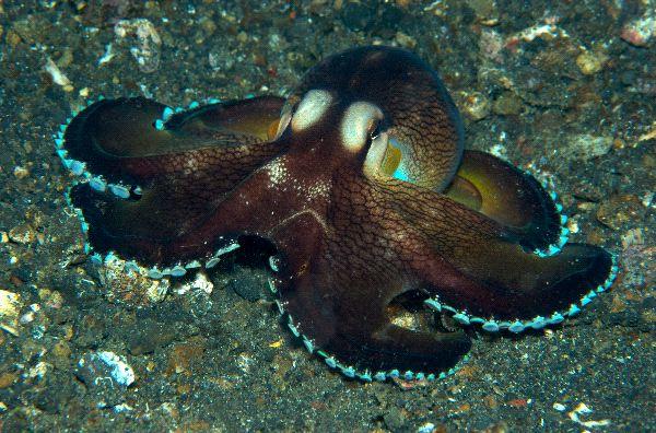 tree octopus sightings