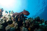North Pacific Giant Octopus In Coral Reef