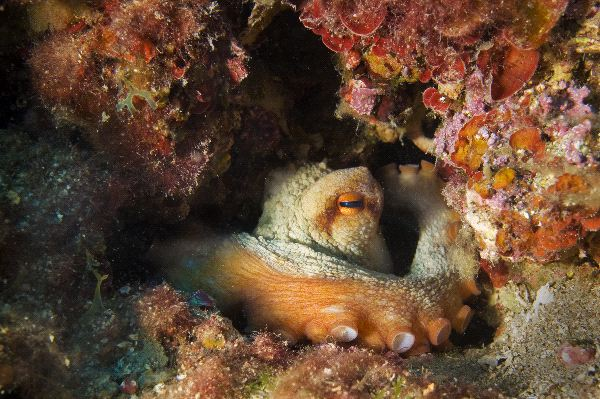 An Octopus Hides In His Lair