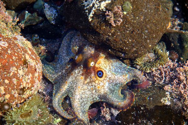 Beautiful Two Spot Octopus