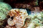 Curled Octopus In His Natural Habitat
