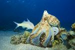 Hunting Octopus Holding a Fish