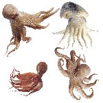 Large Raw Octopuses