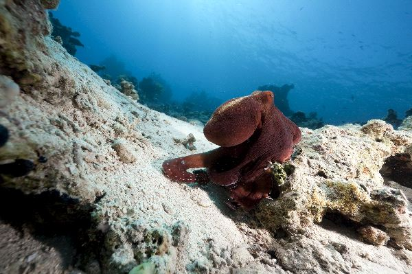 Octopus Crawling Over a Rock