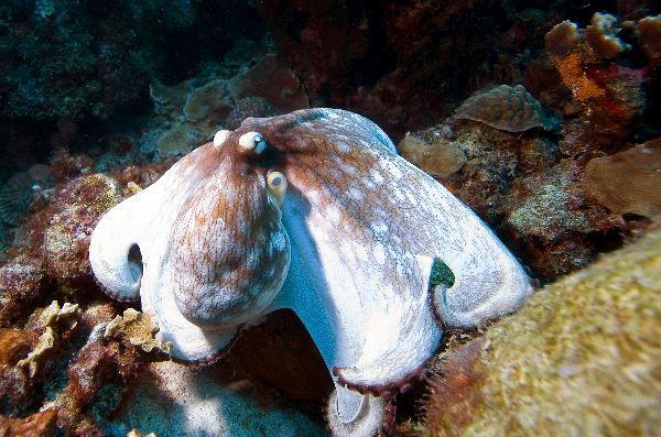Octopus Near Bonaire Island