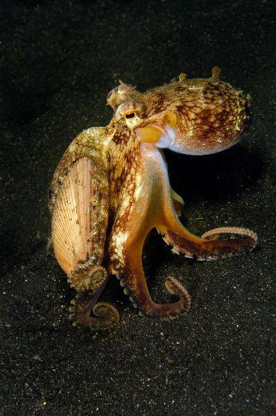 Octopus Walking On Sand