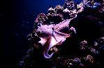 Octupus in Deep Blue