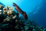 Pacific Giant Octopus Moving