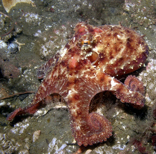 East Pacific red octopus, a shallow-water species